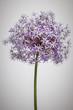 Flowering onion flower