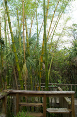 bamboo growing along raised boardwalk or landing