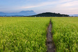 Paddy field at a rural area in Sabah, Borneo, Malaysia - 61924932