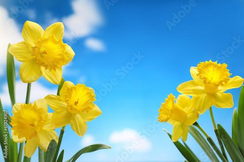 Fototapeten Narzisse Narcissus