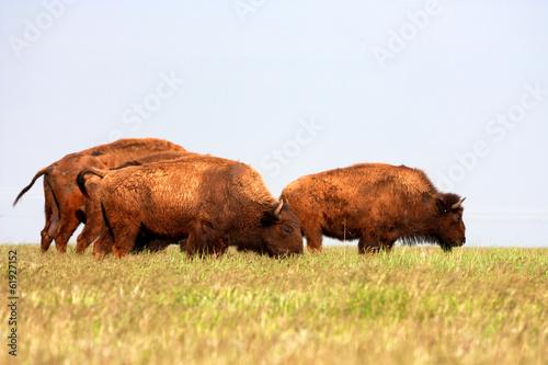 Papiers peints Bison Bisons