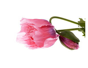 Pink Colored Poppies (Papaver somniferum ) Isolated