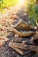 Crates for grape harvesting