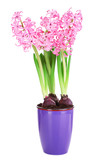 Hyacinth in pot isolated on white