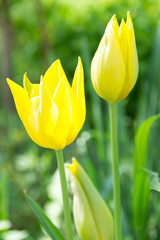 Two yellow tulips in the garden