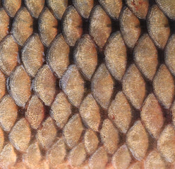 Texture of fish scales close up.