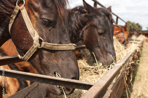 horses standing in a stall at the farm and eat