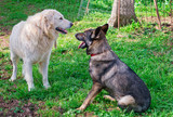 maremma and belgian shepherds