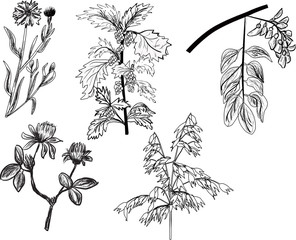 set of five wild herbs sketches isolated on white