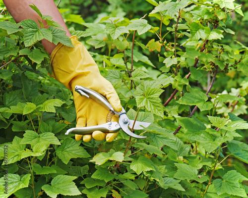 Foto op Canvas Azalea Hand with green pruner in the garden.