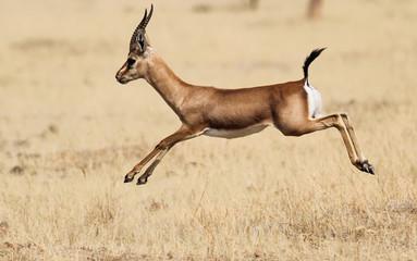 Indian Gazelle (Chinkara)