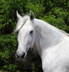 Andalusian white stallion in sunny day
