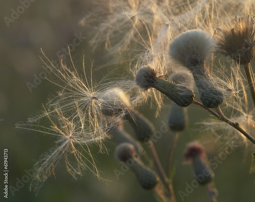 Thistle seeds in the evening sun