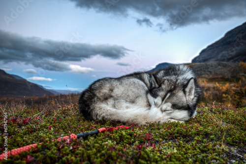Siberian Husky is sleeping in autumn