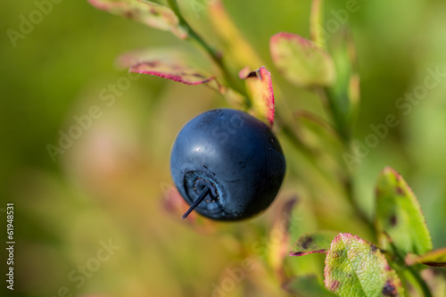 blueberry in fall