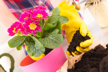 Planting colorfull flower in a flowerpot