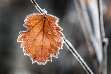 autumn leaf from a birch
