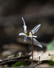 Wild dog's tooth violet in the forest in spring