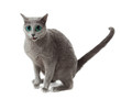 Russian Blue cat on white .  funny surprised cat