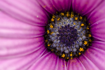 Daisy purple flower