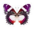 Schmetterling lila rot isoliert