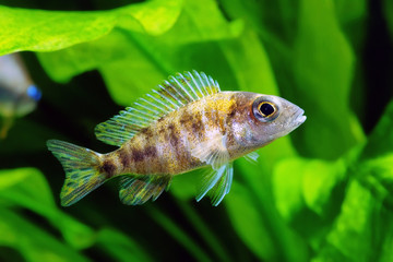 Young spotted Cichlid