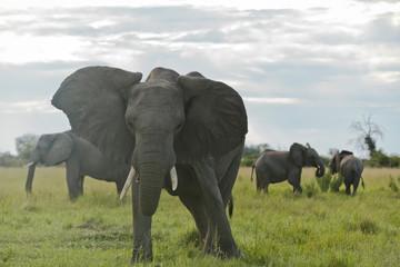 Drohender Elefantenbulle