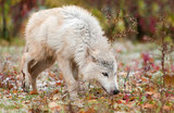 Blonde Wolf (Canis lupus) Sniffs to the Right poster