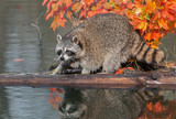 Raccoon (Procyon lotor) Crouches on Log