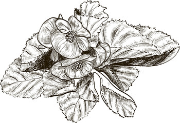 Hand drawing begonia flower
