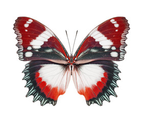 Schmetterling rot isoliert