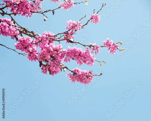Spring flowers (Cercis siliquastrum) against blue sky.
