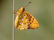 Dark Green Fritillary (Argynnis aglaja) Butterfly resting on a s