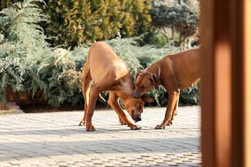 Psy piękne Rodezjany, Rhodesian Ridgeback IV.
