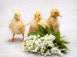 Three little yellow fluffy ducklings and flowers