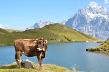 Cow on the Alpine meadow. Jungfrau region, Switzerland