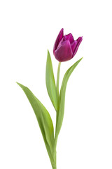 tulip flower  on a stem with leaves