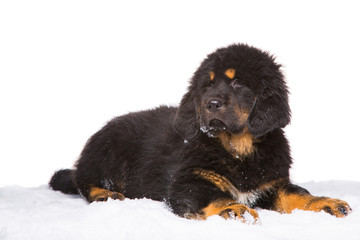 little security guard - black and red puppy of Tibetan mastiff