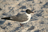 Laughing Gull standing on the sand