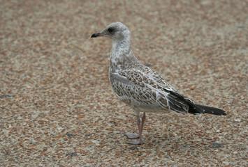 Juvenile Seagull standing on the sidewalk