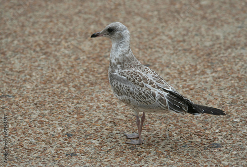 Juvenile Seagull standing on the sidewalk