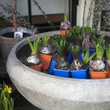 Beautiful fresh colorful hyacinth flowers in a big ceramic pot