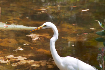 Great White Heron profile against pond