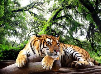 Tygrys szuka czegoś na skale w wiecznie zielone lasy tropikalne