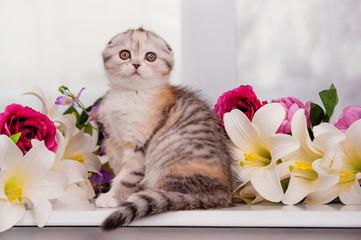 Scottish-fold kitten sits in flowers