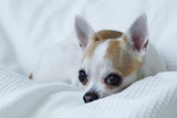 chihuahua on the white bed
