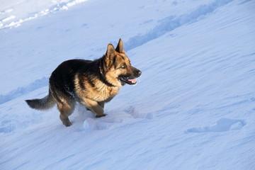 Perro Pastor Alemán corriendo sobre la nieve.