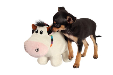 Toy-terrier puppy with toy isolated on white background