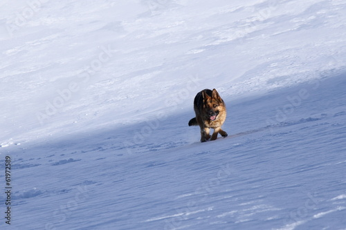 German Shepherd Dog running in the snow.