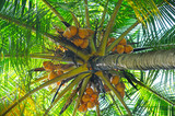 coconut tree background